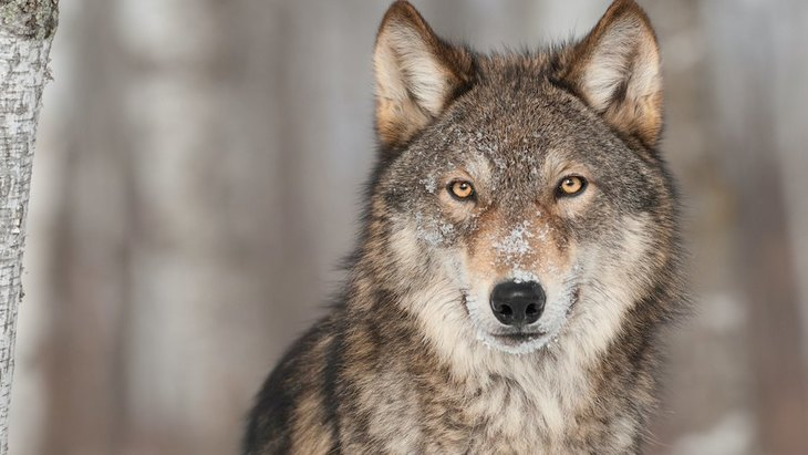 犬の先祖はオオカミ!でも同じじゃない?その起源や歴史について