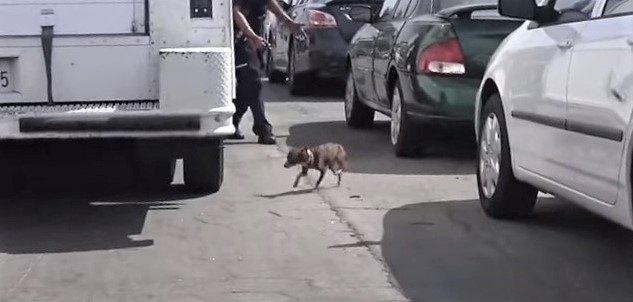 道路上をチョロチョロするチワワを保護。吠えるけど決して咬みません!