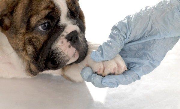 犬の指間炎 原因や症状、市販薬の効果から治療法まで
