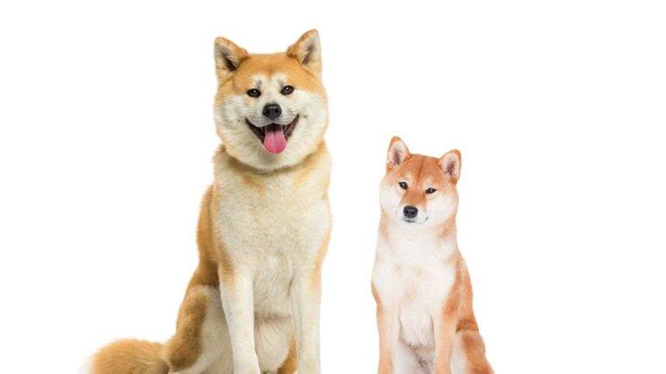 「秋田犬」と「柴犬」の違い 見た目や性格、歴史など