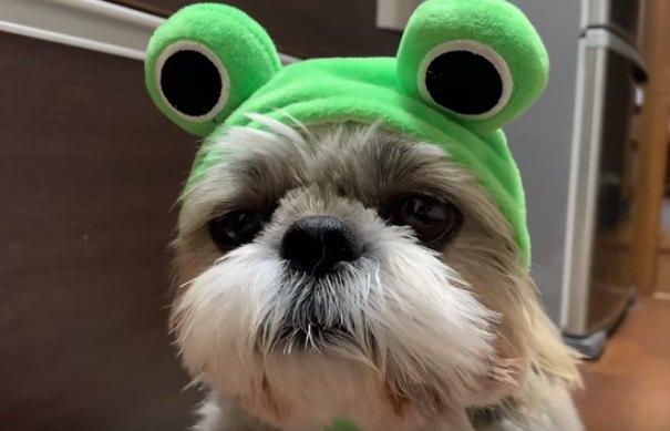 シーズーに『カエル』になってもらった結果、面白い表情に癒される♡