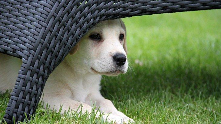 犬がテーブルやソファの下に潜る3つの心理