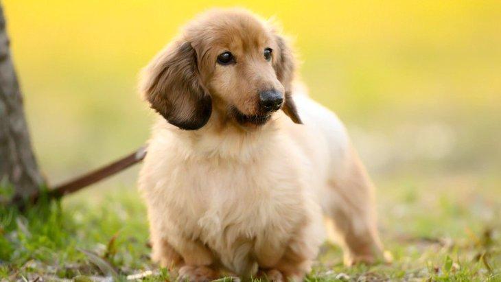 ダックスのミックスとは?今人気のミックス犬の種類とブリーダーについて
