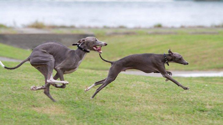 視覚ハウンドの犬種とは?主な特徴や気質、歴史から飼い方まで
