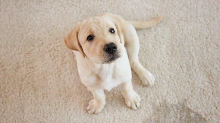 犬が室内でするマーキング行為はやめさせるべき?適切な対処法3選
