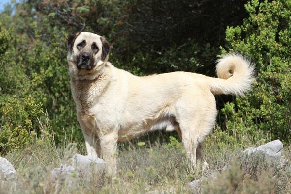 カンガールドッグはトルコ原産の賢い作業犬