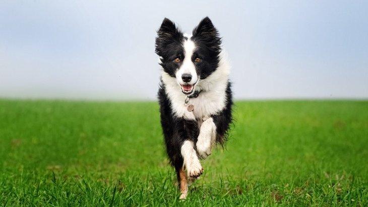 『たくさん散歩しなければいけない犬種』5選