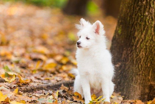 ジャーマンスピッツってどんな犬?性格と特徴、子犬の値段から種類まで