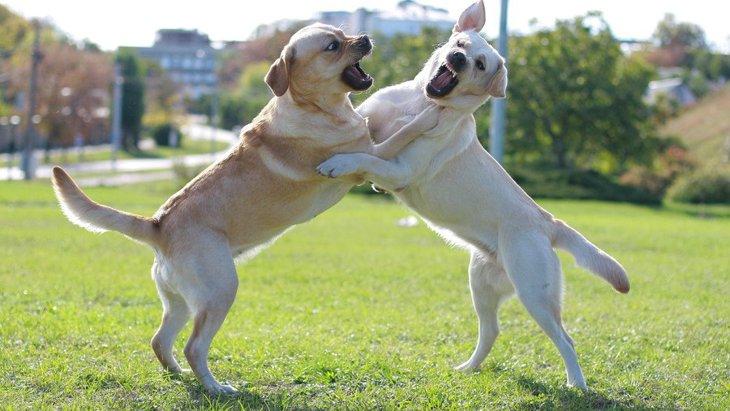 犬の『遊び』と『喧嘩』を見極めるコツ3つ