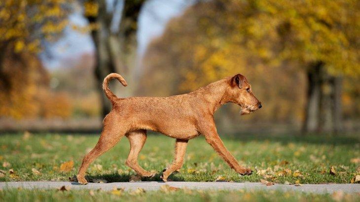 犬の歩き方がいつもよりおかしい時に考えられる病気3つ
