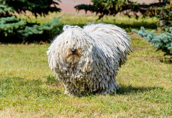 プーリーの性格と特徴、値段や飼い方からモップのような子犬の画像まで