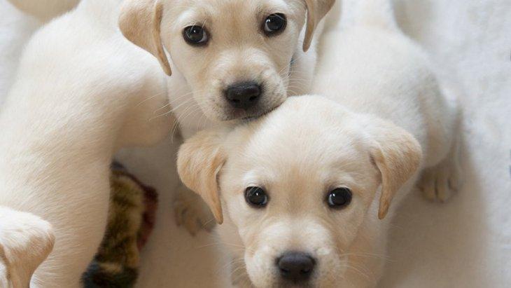 犬にも一卵性双生児がいる!世界で初めて発見された子犬たち