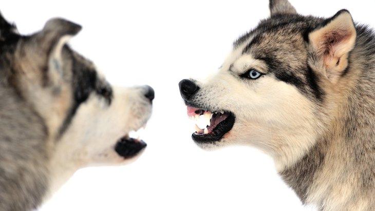 犬が毛を逆立てる理由とは?威嚇時だけでなく恐怖心を抱いている可能性もある