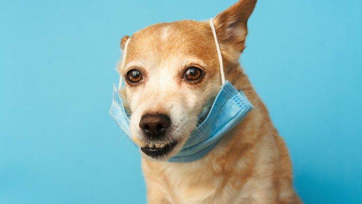 犬が新型コロナウイルスに感染した場合、どんな初期症状が出る?