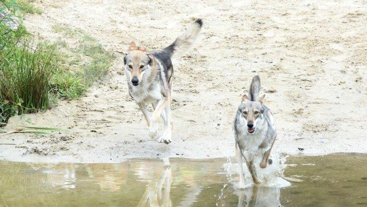 DNAが明らかにするヒトと犬の移動の歴史【研究結果】