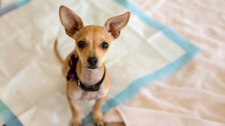犬が自分のおしっこを踏んづける…なぜ?やめさせる方法は?