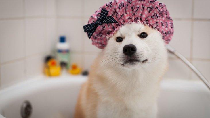 犬の妊娠期間中はいつシャンプーすればいい?
