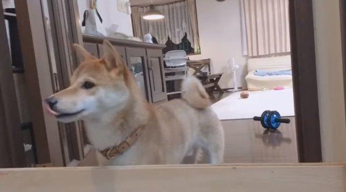 おかえりー!飼い主の1週間ぶりの帰宅に喜ぶ柴犬さん