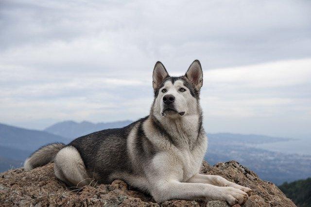 アラスカンマラミュートの性格や特徴、寿命や値段まで