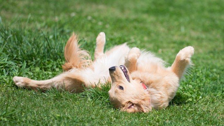 犬が激しくゴロゴロ転がる6つの心理