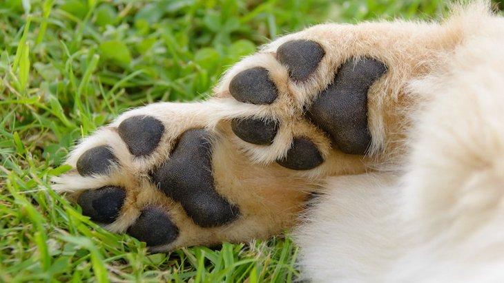 裸足で歩いて痛くない?犬の肉球の仕組みと怪我の対処