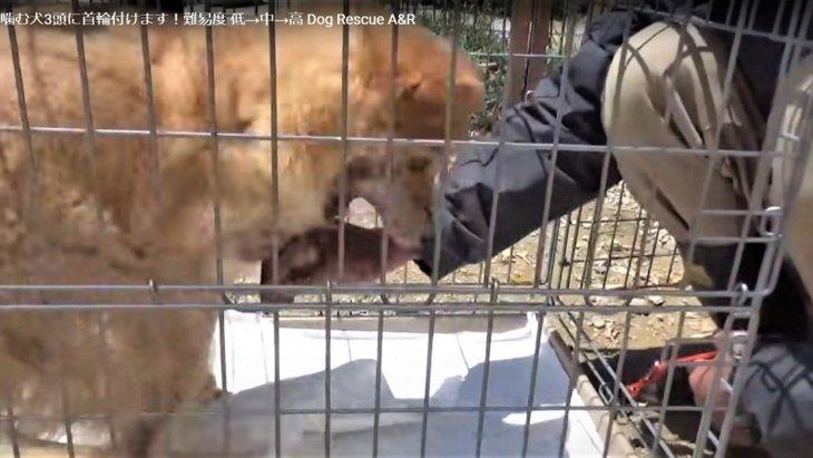 保健所に収容された噛む野犬をレスキュー!緊張の首輪装着【閲覧注意】