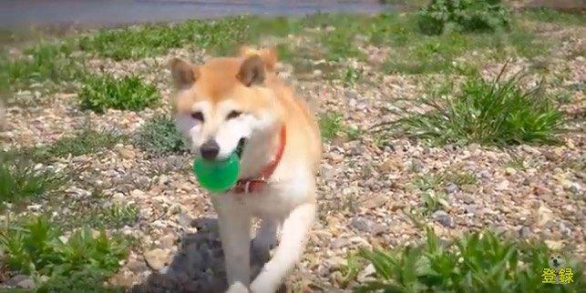 春のピクニックを満喫する柴犬が可愛い♡