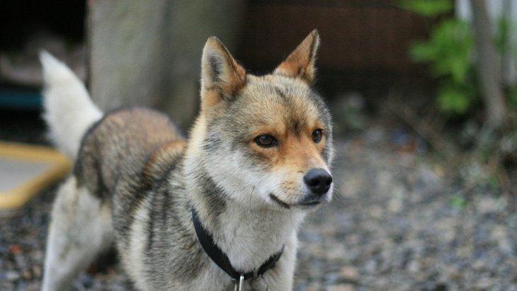 雑種犬が病気にかかりにくいって本当?雑種犬と純血種はどう違うの?