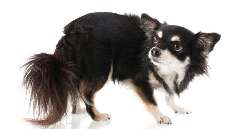 怖がってる?犬がしっぽを股に隠す時の心理2選