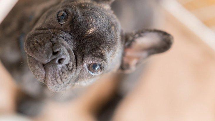 【調査結果】なぜ健康問題にも関わらず鼻ペチャ犬種が人気なのか