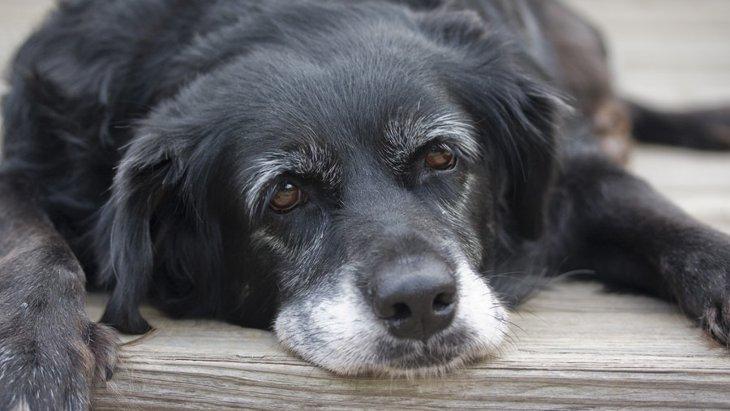犬にも若白髪がある?ストレスが原因になることも?