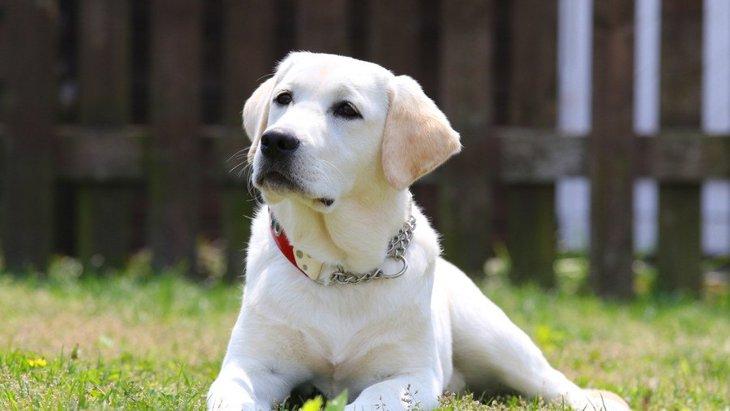 私の心を救った1頭の保護犬ラブラドールとの出会い