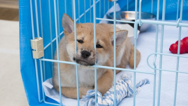 犬の留守番は何歳から始めるべき?適切な時期や考え方