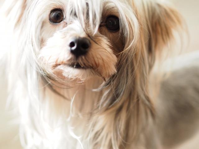 チワワのミックス犬は小さくて、キュートな子がたくさん