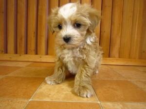 パピプーはパピヨンとトイプードルのミックス犬!その性格や特徴
