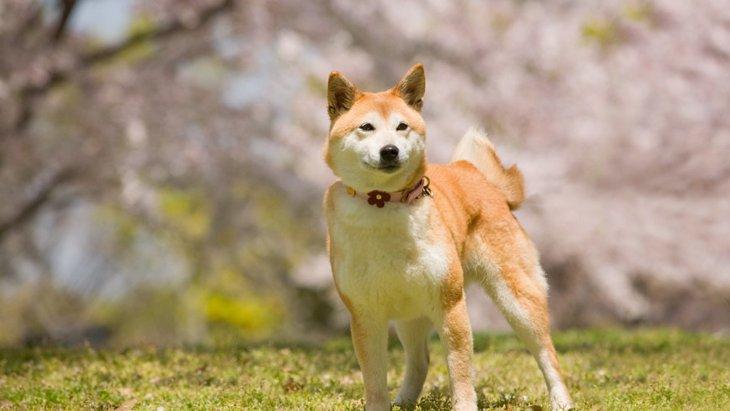 犬が桜を食べるのは大丈夫?考えられる危険性と対処法