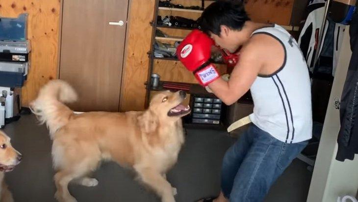 ゴールデンレトリバーちゃん達にボクシングを挑んでみた結果