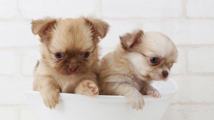 一番小さい犬はチワワ?世界最小の犬種やギネス記録