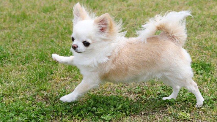 パテラは小型犬がかかりやすい病気!症状や原因、治療法まで