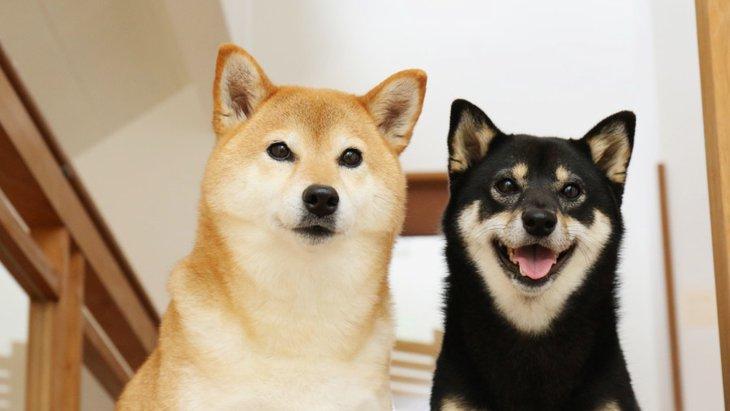 画像で解る!柴犬のたぬき顔とキツネ顔の違い