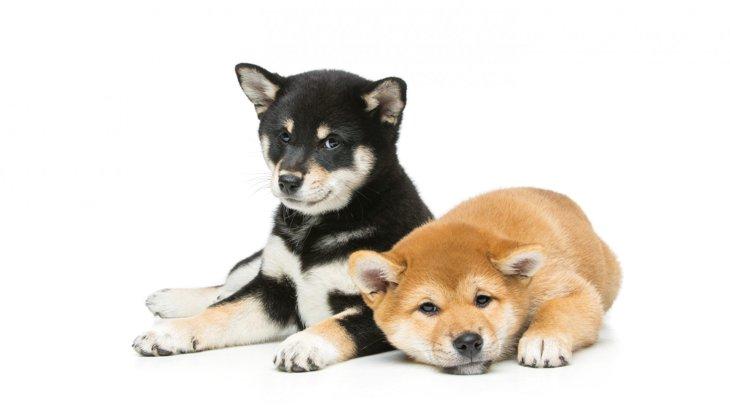 柴犬の年齢を人間に換算したら何歳?早見表から長生きする飼い方まで