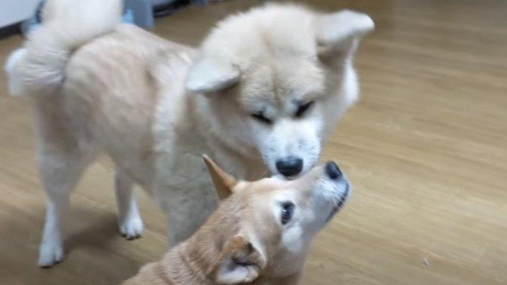 わんにゃん大家族の姉御犬と、超特大末っ子秋田犬のやり取りが愛おしい