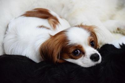 犬の陰睾(潜在精巣)について~症状・原因から治療・予防法まで~