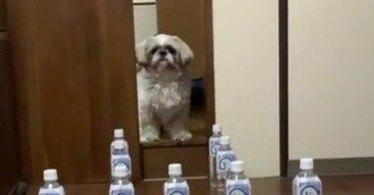 迷宮に迷い込んだシーズーさん♡ペットボトル迷路に挑戦したら…まさかの怒り爆発!?
