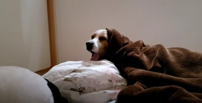 『朝か?』起動に時間が掛かるビーグルさんが愛おしい