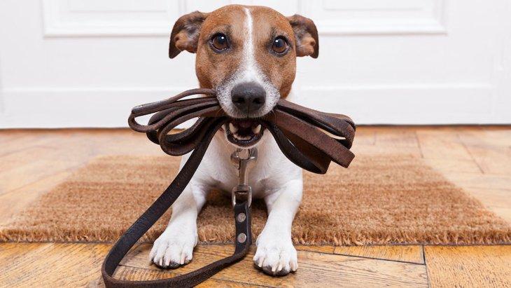 犬が散歩前に暴れてしまう心理2つ!やめさせる方法まで
