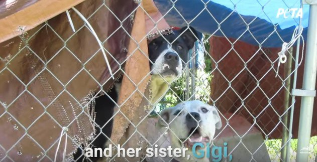 狭い囲いの中に監禁されていた姉妹犬。必死の働きかけと結末に涙