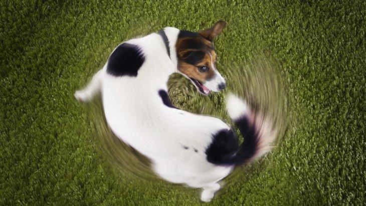 犬が尻尾を追いかけグルグル回るときの心理4つ