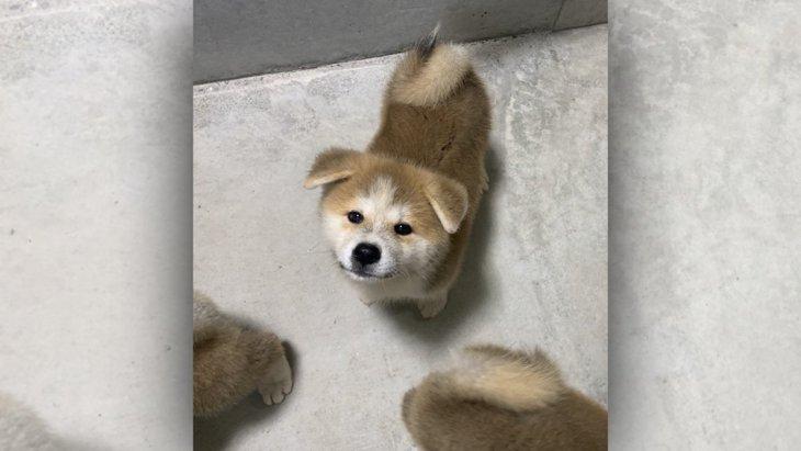 破壊力抜群!秋田犬パピーのおねだりにツイッター民メロメロ