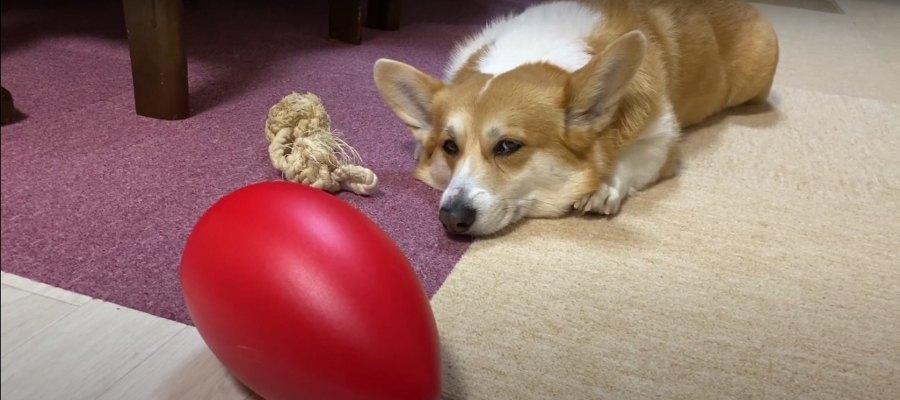 『今じゃないのよね〜』eggボールに興味ゼロのコーギーちゃん♡